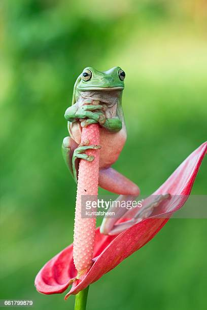 Dumpy tree frog standing on anthurium flower