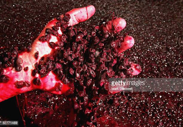 Duncan Buchanan assistant winemaker at Dromana Estate vineyard checks on cabernet grapes as they ferment in a vat on the Mornington Peninsula May 6...