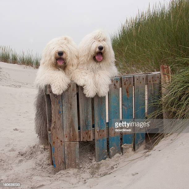 dune babes * explore * - old english sheepdog stock pictures, royalty-free photos & images