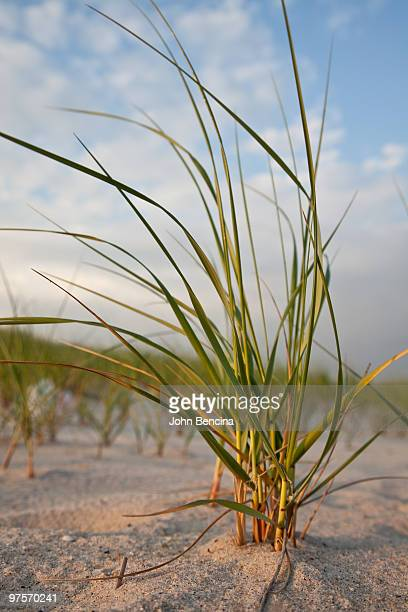 dune grass at sunset - wantagh stock pictures, royalty-free photos & images