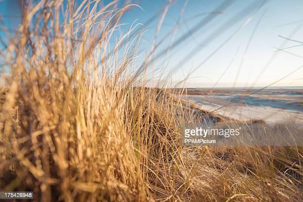 Sur la plage et l'élyme des sables