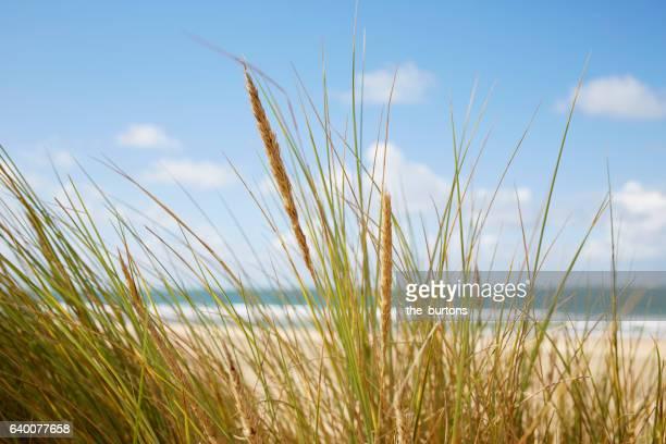 Dune with marram grass at beach