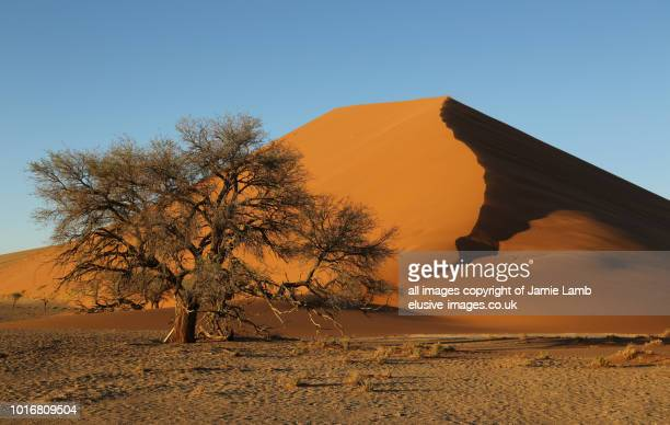 Dune with tree in Namib desert, Namibia