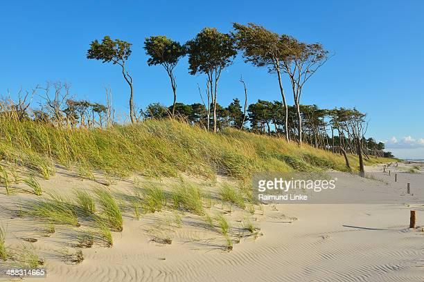 dunes and coastal forest - fischland darss zingst photos et images de collection