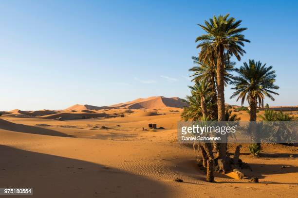 dunes and palm trees in morning light, merzouga, meknes-tafilalet region, morocco - date palm tree stock pictures, royalty-free photos & images