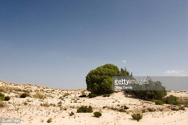 Dunes and pine on Doñana National Park, Huelva.