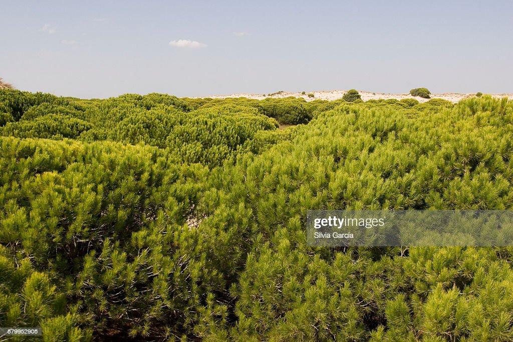 Dunes and pine on Doñana National Park, Huelva. : Stock Photo