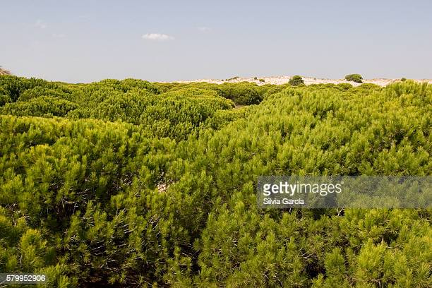 dunes and pine on doñana national park, huelva. - turista stockfoto's en -beelden