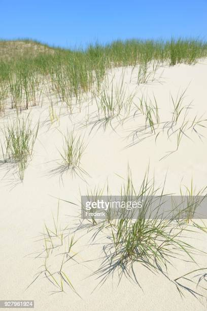 dunes with marram gras (ammophila), norderney, east frisian islands, lower saxony, germany - gras foto e immagini stock