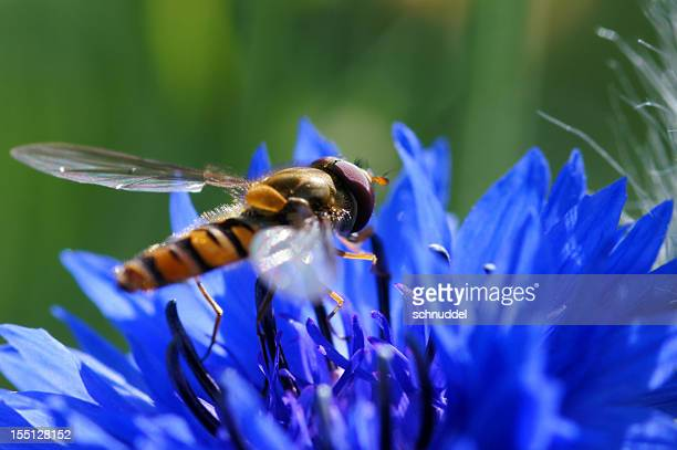 Dung bee on cornflower