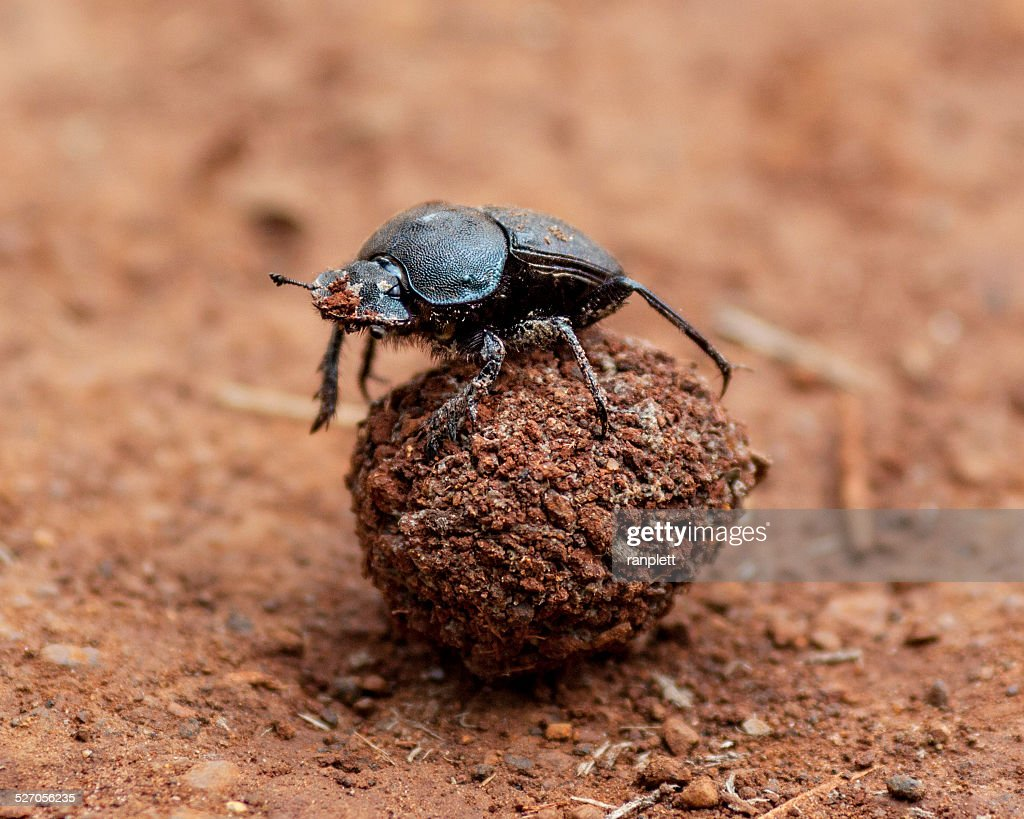Dung Beetle and it's Poo : Stock Photo