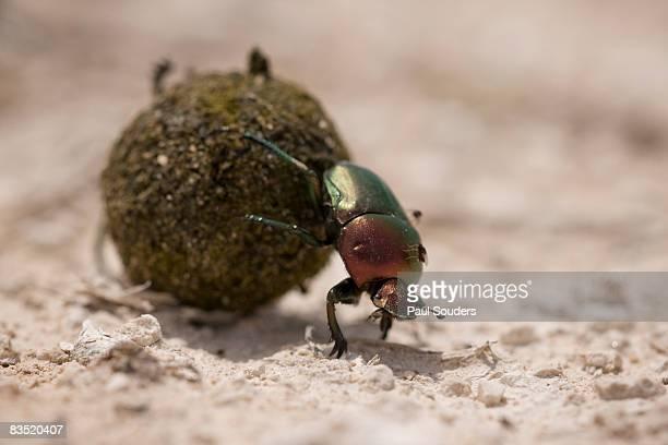 Dung Beetle, Etosha National Park, Namibia