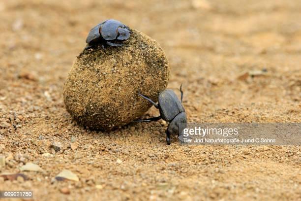 Dung Beetle, (Scarabaeus sacer)
