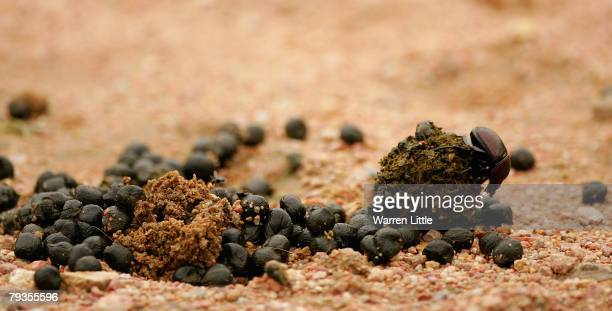 A dung beetle pushes a ball of dung pictured in the Kruger National Park on December 7 2007 in Mpumalanga South Africa