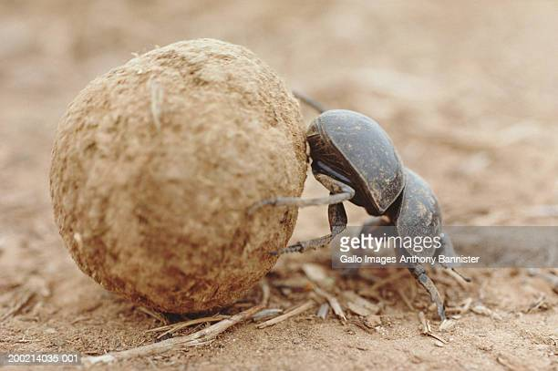 dung beetle (scarabaeus sacer) rolling dung ball, close-up - coleottero foto e immagini stock