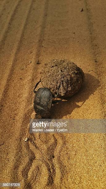 Dung Beetle Rolling Dung On Sandy Field