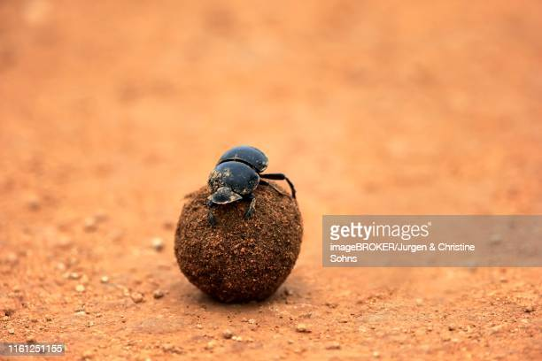 dung beetle (scarabaeus sacer), rolls ball of elephant dung, addo elephant national park, eastern cape, south africa - de rola imagens e fotografias de stock