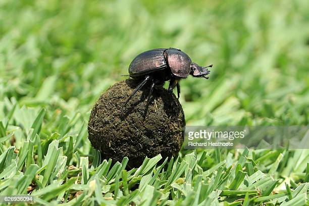 Dung Beetle rolls his collection across a hole during the first round of the Alfred Dunhill Championship at Leopard Creek Country Golf Club on...