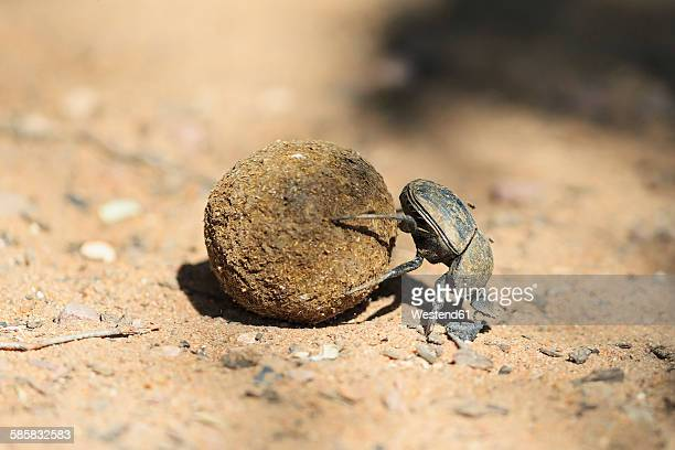 Dung beetle, Scarabaeus sacer, with dung ball