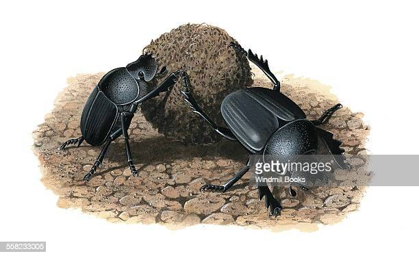 Dung beetles rolling dung into round balls which they then will feed on