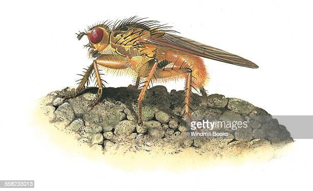 A Dung fly feeding on some dung