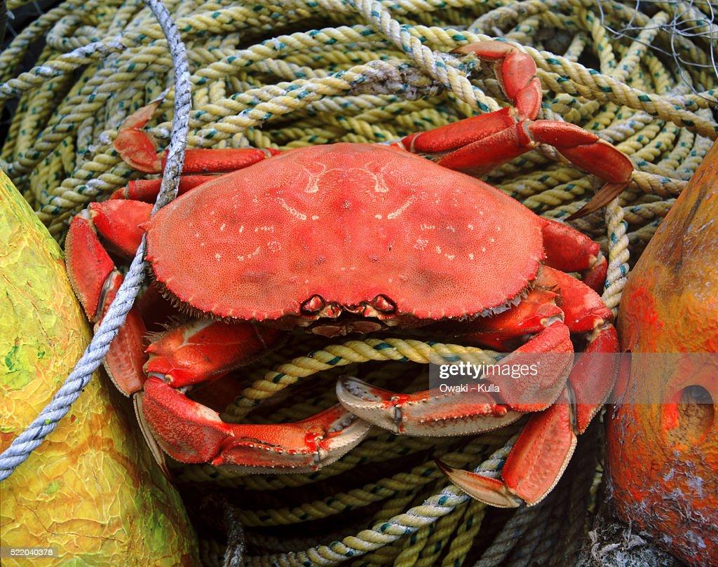Dungeness crab - Oregon : Stock Photo