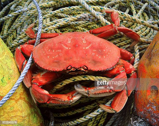 Dungeness crab - Oregon