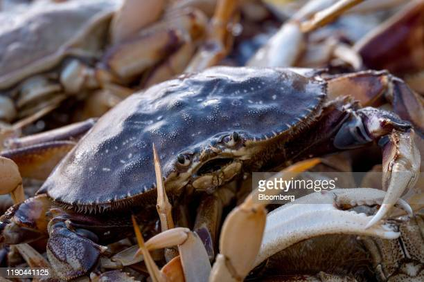 Dungeness crab sit in a bin after being offloaded from a boat at Pier 45 in San Francisco California US on Thursday Dec 19 2019 The commercial...