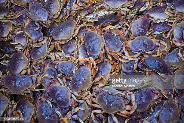Dungeness crabs (Cancer magister)