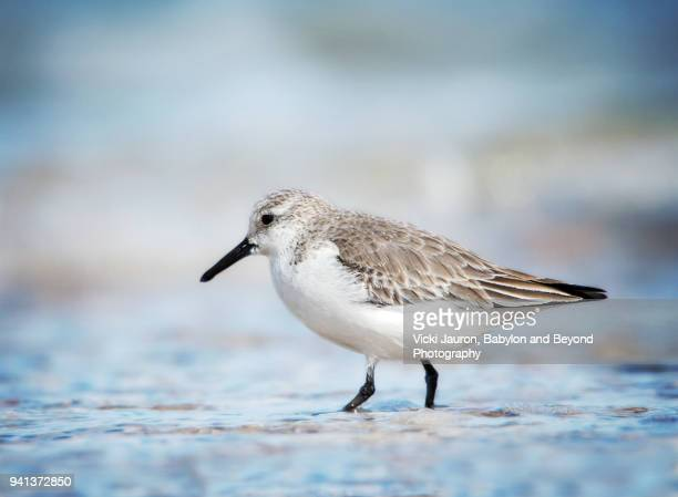 dunlin bird taking a walk in the water at caumsett state park - huntington suffolk county new york state stock pictures, royalty-free photos & images