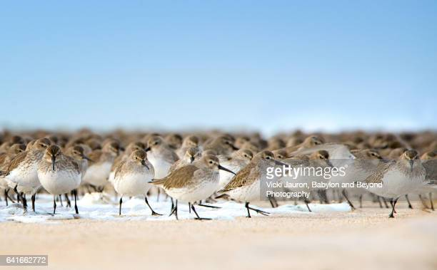 Dunlin Birds Escaping the Water on the Beach at Jones Beach