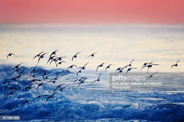 Dunlin flying at Sunrise Against Blue Water