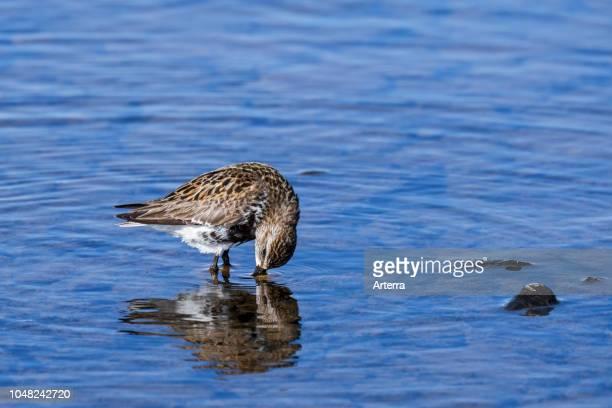 Dunlin in breeding plumage foraging in shallow water along the Atlantic Ocean coast, Scotland, UK.