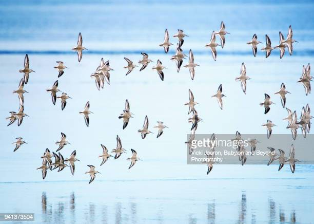 dunlin in flight over blue water with reflection - large group of animals stock pictures, royalty-free photos & images