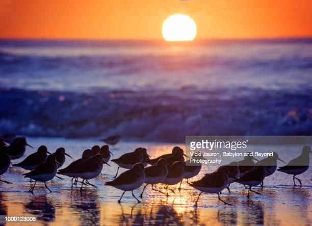 dunlin running on beach at sunrise at jones beach, long island - wader bird stock photos and pictures
