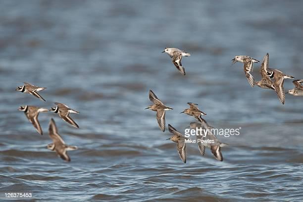 dunlin (calidris alpina), sanderlings (calidris alba) and ringed plovers (charadrius hiaticula) in flight over estuary, snettisham, norfolk, england, uk - waders stock pictures, royalty-free photos & images