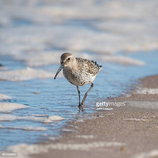 dunlin - wading bird - wader bird stock photos and pictures