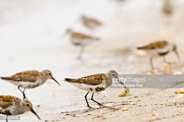Dunlins a type of migratory shorebird hunt up and down the shore for horseshoe crab eggs in the Ted Harvey Wildlife Area on Friday May 4 2012 in...