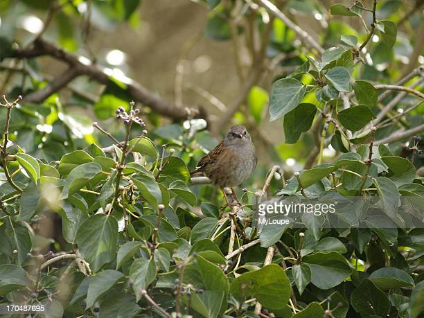 Dunnock, , also known as a hedge sparrow, sitting in a tree, it is an amber list bird species. A small brown and grey bird often seen on its own,...