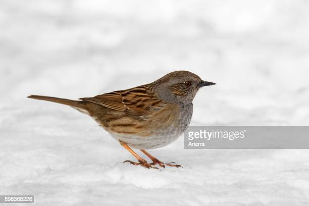 Dunnock / hedge accentor / hedge sparrow / hedge warbler foraging on he ground in the snow in winter.