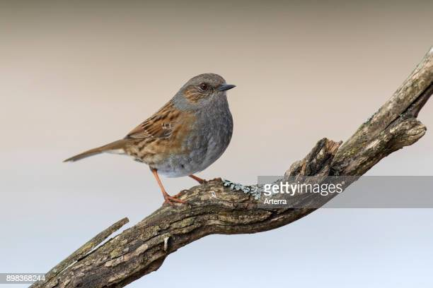 Dunnock / hedge accentor / hedge sparrow / hedge warbler perched in tree.