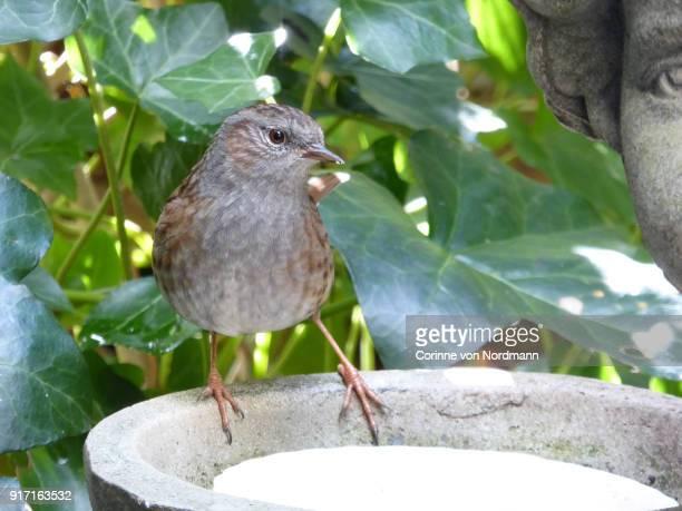 Dunnock in Garden with Bird Seed - Prunella modularis