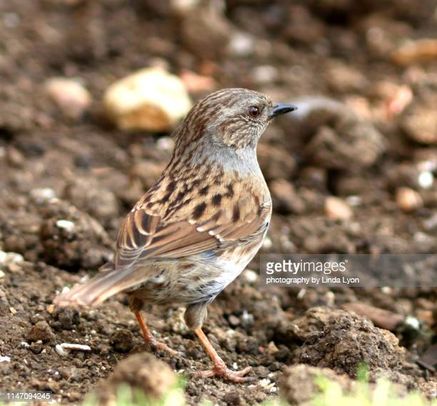 dunnock - dunnock stock pictures, royalty-free photos & images
