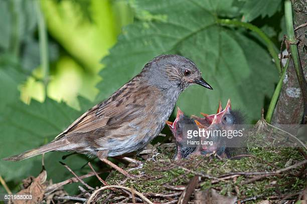 dunnock -prunella modularis- at nest with young birds, baden-wurttemberg, germany - dunnock stock pictures, royalty-free photos & images