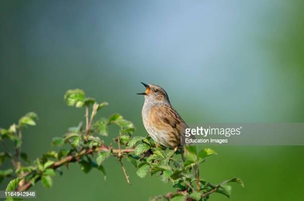 Dunnock Prunella modularis in song Norfolk UK