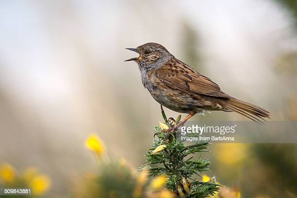 dunnock  singing - dunnock stock pictures, royalty-free photos & images