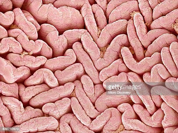 duodenum villi from a rat - villus stock photos and pictures