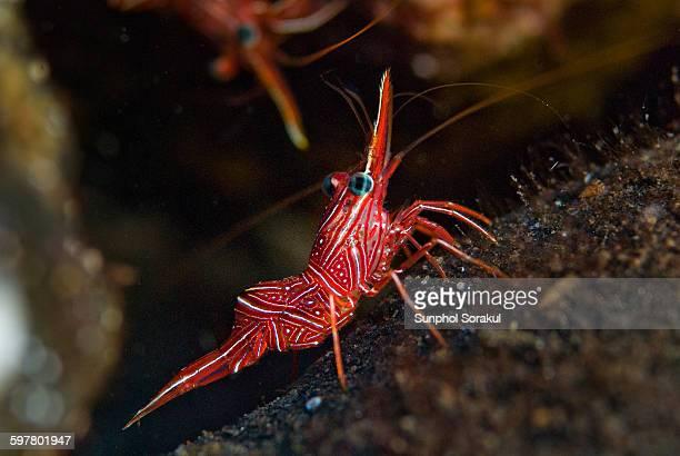 durban hinge beak shrimp - shrimps stock pictures, royalty-free photos & images