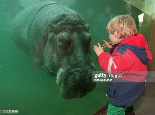 Durch das Fenster unterhält sich der kleine Sven am 4111997 mit einem Flußpferd im Berliner Zoo Das neue Nilpferdhaus des Tiergartens in der...