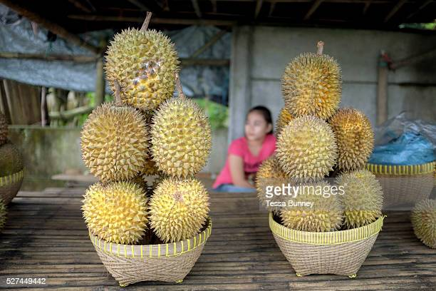 Durian fruit for sale on a roadside stall Lombok Indonesia